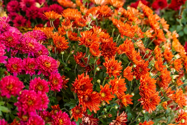 Fiori rossi e arancioni dei crisantemi.