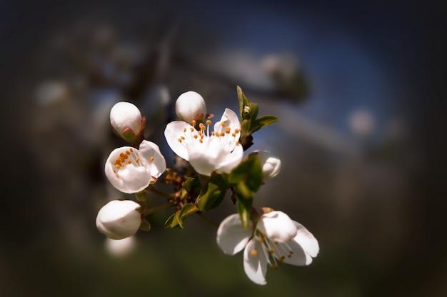Fiori sboccianti di ciliegio in primo piano con uno sfondo sfocato.