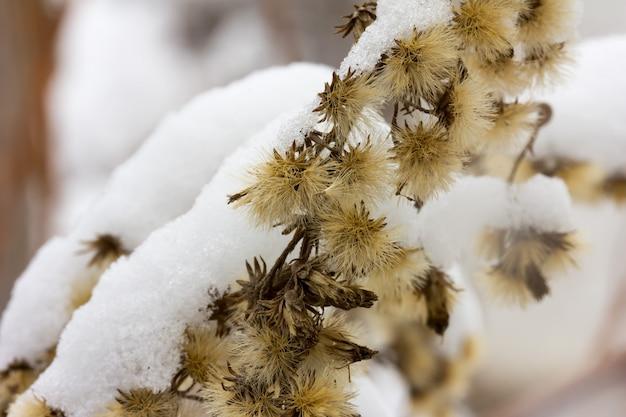 Fiori secchi naturali coperti di soffice neve bianca. messa a fuoco selettiva