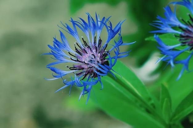 Fiori selvaggi blu di fiordalisi