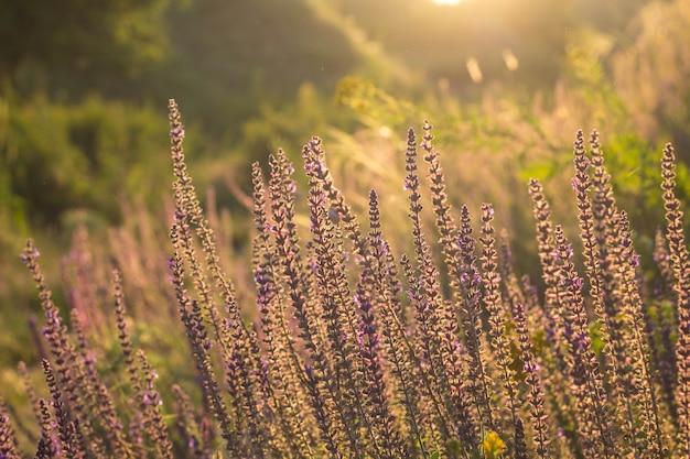 Fiori selvaggi del prato sul fondo di luce solare di sera