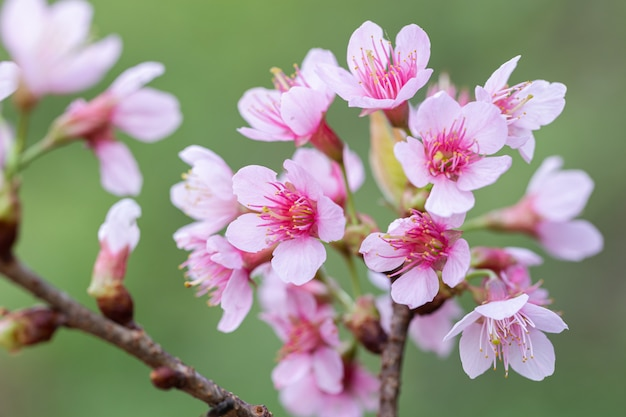 Fiori selvaggi della ciliegia dell'himalaya