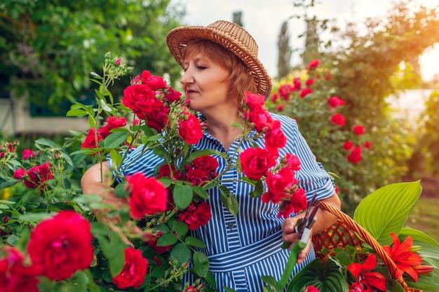 Fiori senior della riunione della donna in giardino. donna di mezza età che sente l'odore e che taglia le rose.