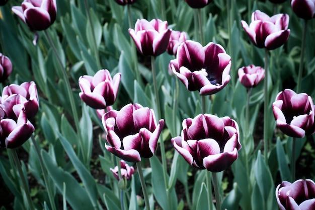 Fiori variopinti dei tulipani che fioriscono in un giardino