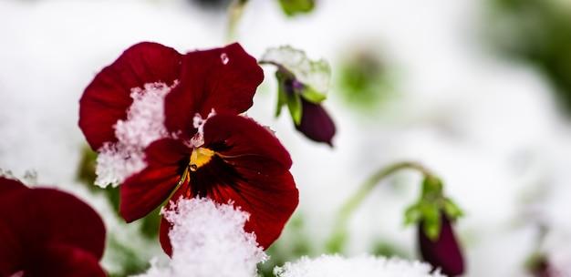 Fiori viola della tricolore in un giardino