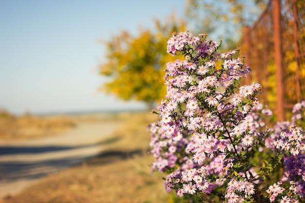 Fiori viola in autunno, con una copia dello spazio