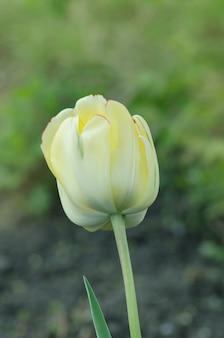 Fioritura bianca dei tulipani di tacoma del supporto