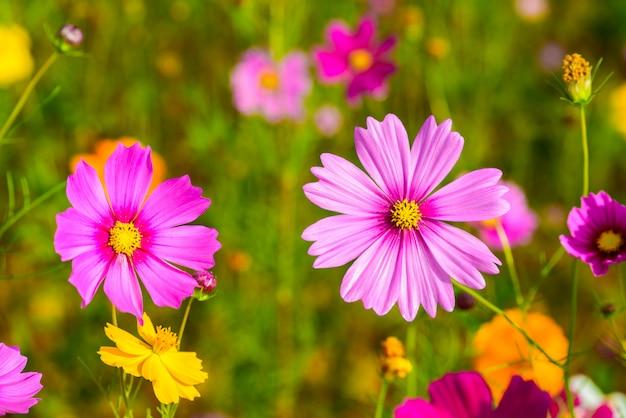 Fioritura dei fiori dell'universo