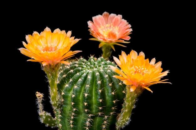 Fioritura dei fiori di cactus lobivia hybrid orange color