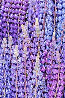 Fioritura dei fiori di lupino. un campo di lupini. fiori sfocati sullo sfondo