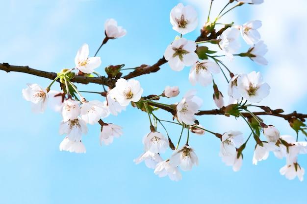 Fioritura dei fiori di sakura del giappone.