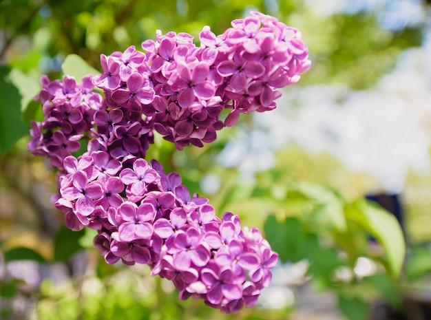 Fioritura dei fiori lilla