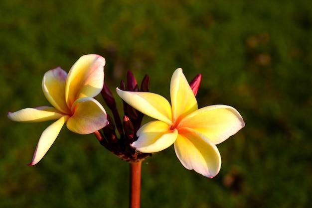Fioritura del fiore di plumeria e foglia verde con il cielo luminoso.