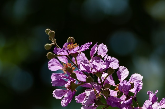 Fioritura del fiore viola
