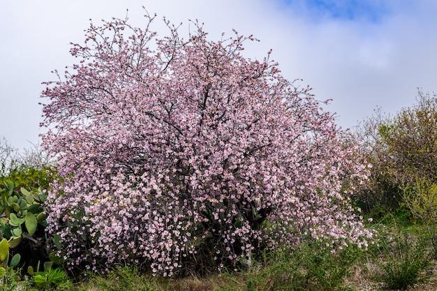 Fioritura del mandorlo (prunus dulcis)