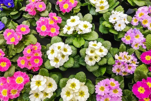Fioritura di primule multicolori. sfondo del fiore di primula.