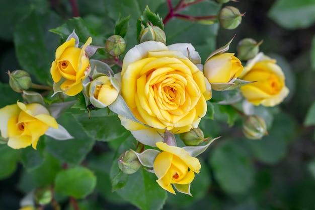 Fioritura di rose gialle su aiuole. coltivazione e vendita di fiori
