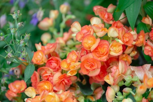 Fioritura piena di struttura dei fiori della begonia in giardino