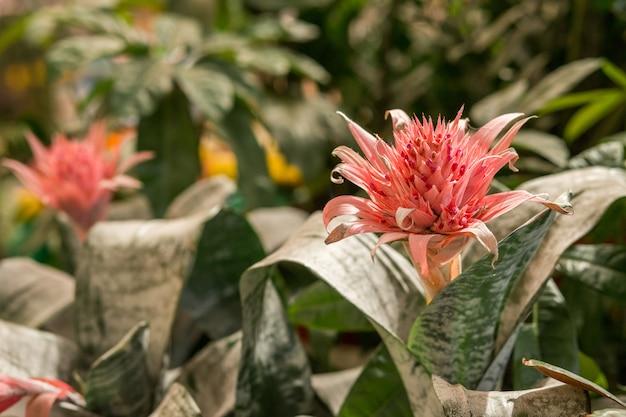 Fioritura rosa della pianta tropicale aechmea fasciata