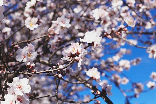 Fioriture primaverili bei fiori del mandorlo contro il cielo blu. fiori di primavera. bellissimo giardino in primavera.