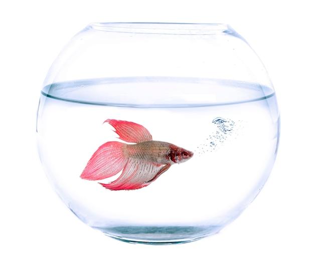 Fishbowl e pesce combattente siamese