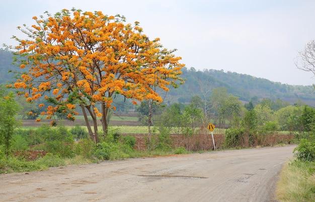 Flame tree o peacock flower con la strada campestre