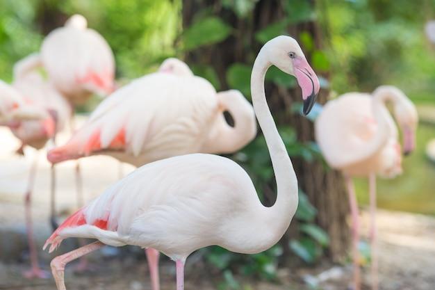 Flamingo a piedi e guardando la fotocamera sfondi naturali