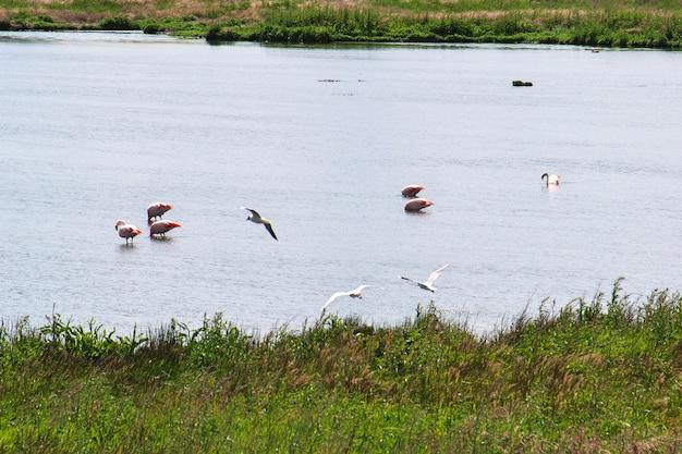 Flamingo in laguna nimez reserva a el calafate, patagonia, argentina