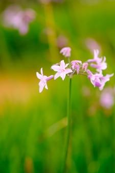 Floricultura viola in giardino e sfocatura dello sfondo