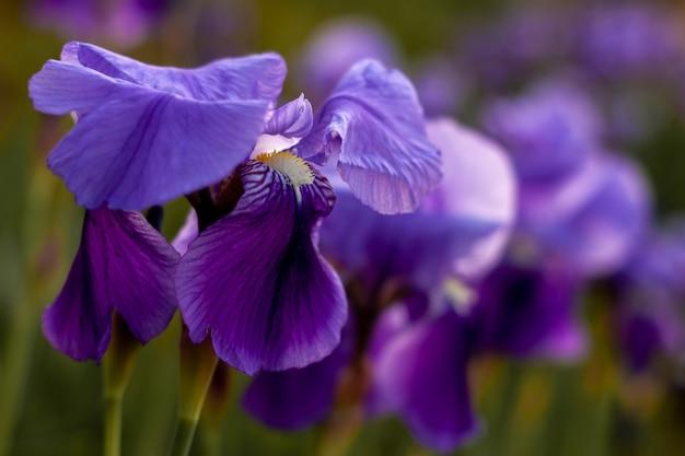 Flowersare blu e viola dell'iride che cresce nel giardino. chiuda sul fiore dell'iride