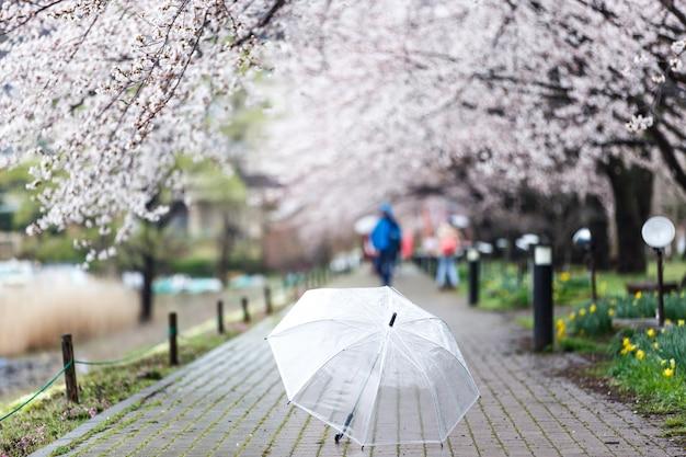 Focus selezionato sull'ombrello trasparente su cherry blossom path sul lago kawaguchi