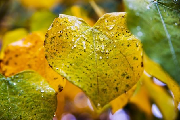 Fogli di autunno caduti da un albero. la pioggia cade su di loro