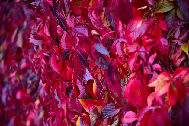 Fogli di autunno dell'uva selvatica rossa