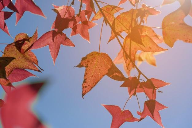 Fogli di autunno, fuoco molto poco profondo, foglia di acero e cielo blu all'asia