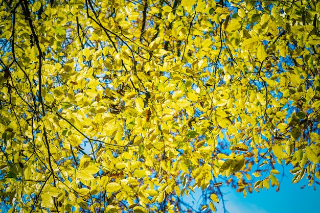 Fogli di autunno gialli contro cielo blu