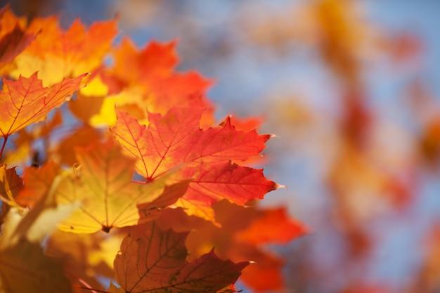 Fogli di autunno luminosi di un acero contro il cielo blu