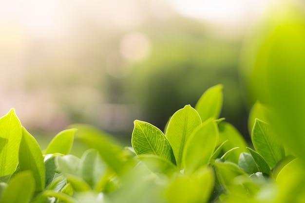 Fogli verdi con luce solare usando per la copertura della pagina o il concetto dello sfondo naturale.