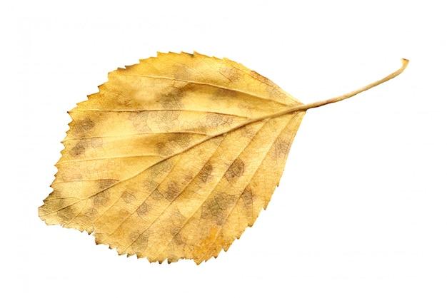 Foglia caduta gialla dell'albero di betulla isolata. foglia d'autunno di betulla.