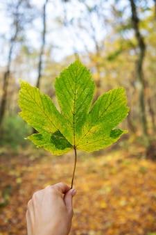 Foglia caduta verde nelle mani di una ragazza. bellissimo paesaggio autunnale soleggiato.