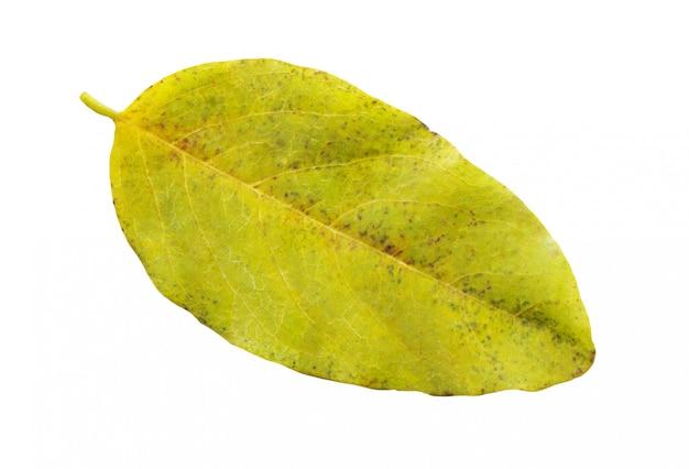 Foglia del mirtillo o del mirtillo di autunno isolata