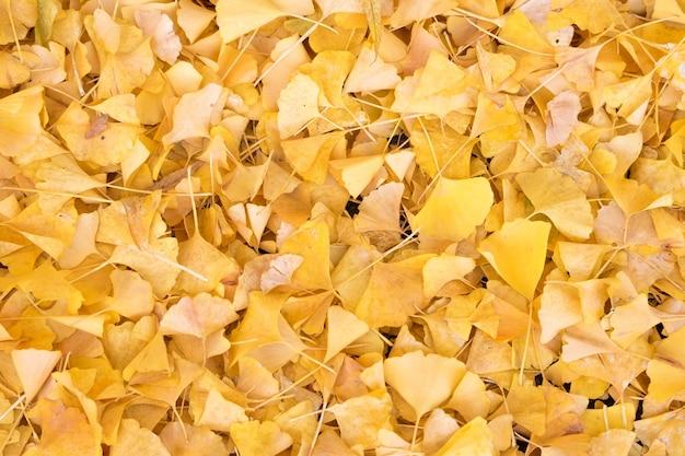 Foglia dell'albero del ginkgo nella carta da parati di struttura di stagione di caduta di autunno