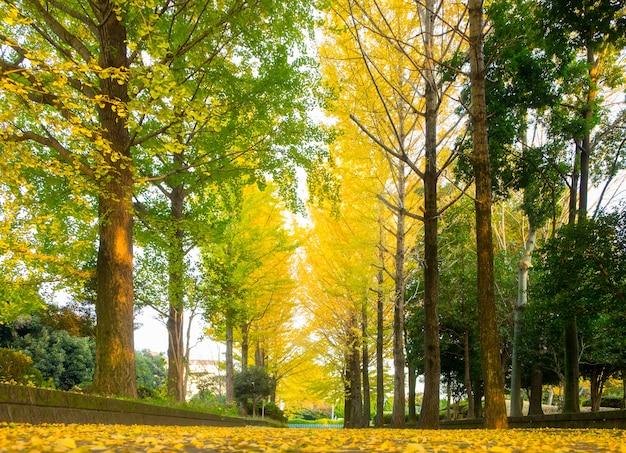 Foglia dell'albero del ginkgo nella stagione di caduta all'aperto del parco di autunno