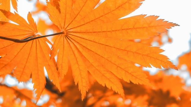Foglia di acero rossa contro luce solare in autunno