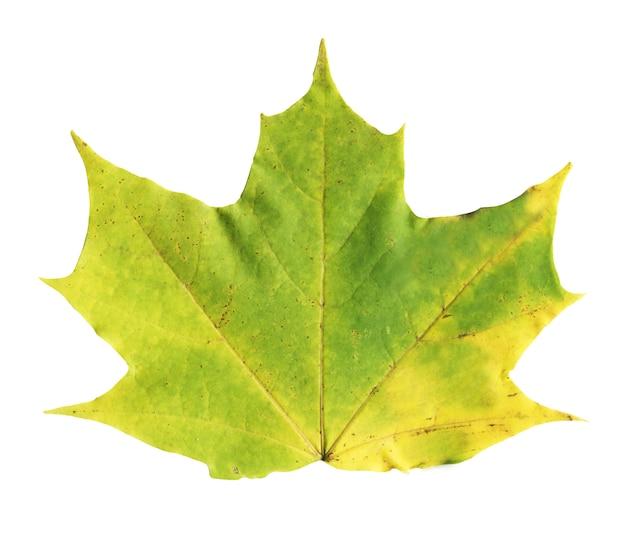 Foglia di acero variopinta di autunno isolata