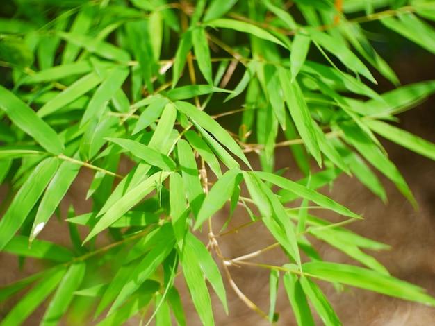 Foglia di albero di bambù sullo sfondo