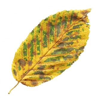 Foglia di autunno dell'albero di olmo isolata su bianco