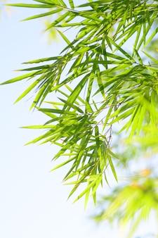 Foglia di bambù con sfondo chiaro cielo blu