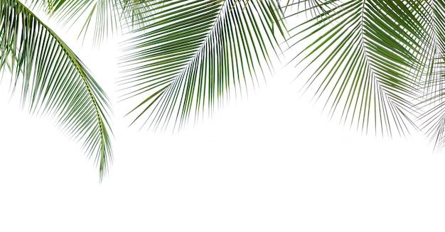 Foglia di cocco isolata su fondo bianco