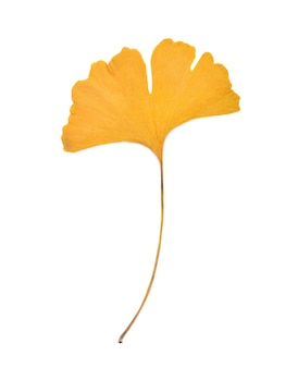 Foglia di ginkgo isolata on white