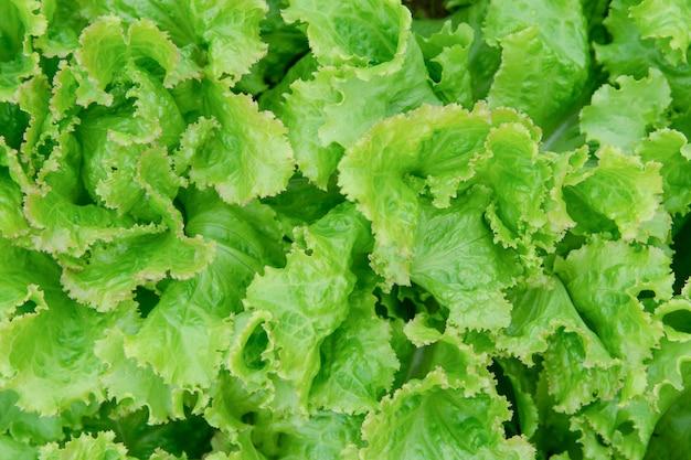 Foglia di insalata. close-up di lattuga fresca.